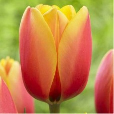 Тюльпан World Peace 10/11