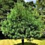 Сосна гималайская Griffithii C1,5