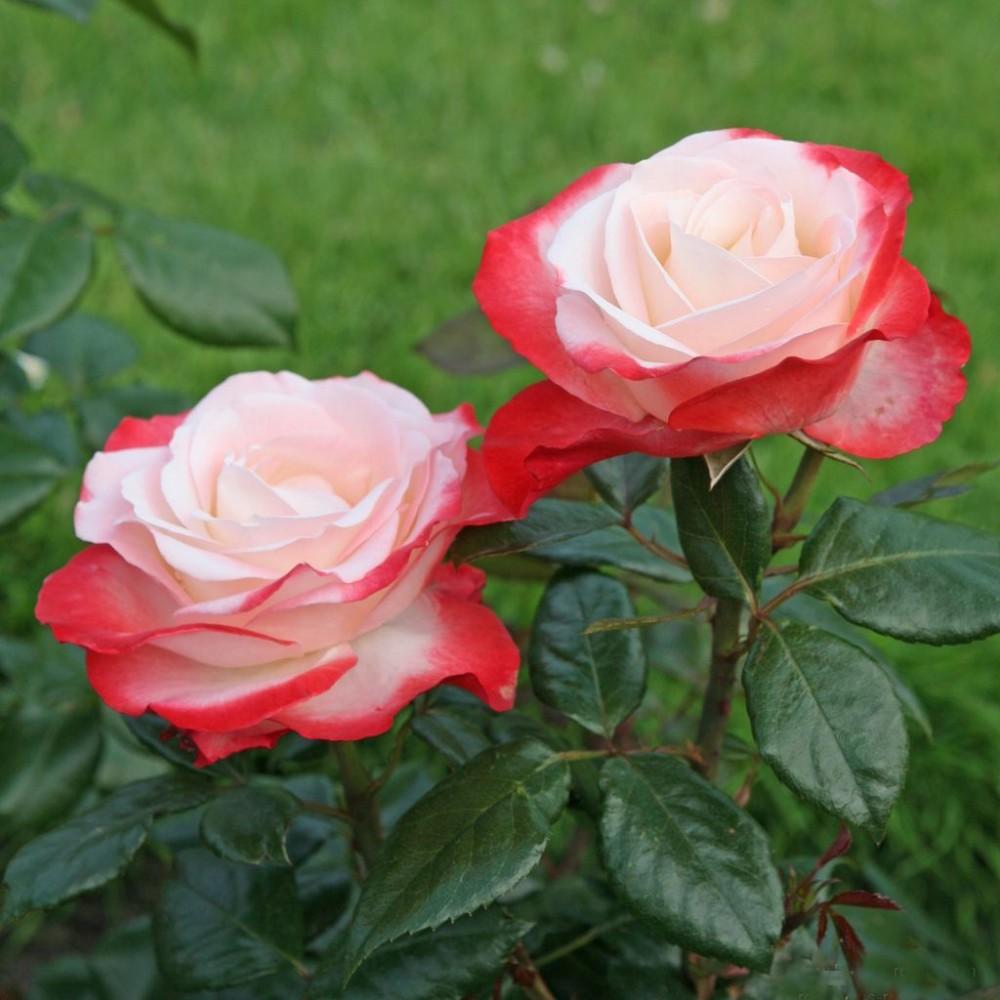 Троянда в горщику Nostalgie