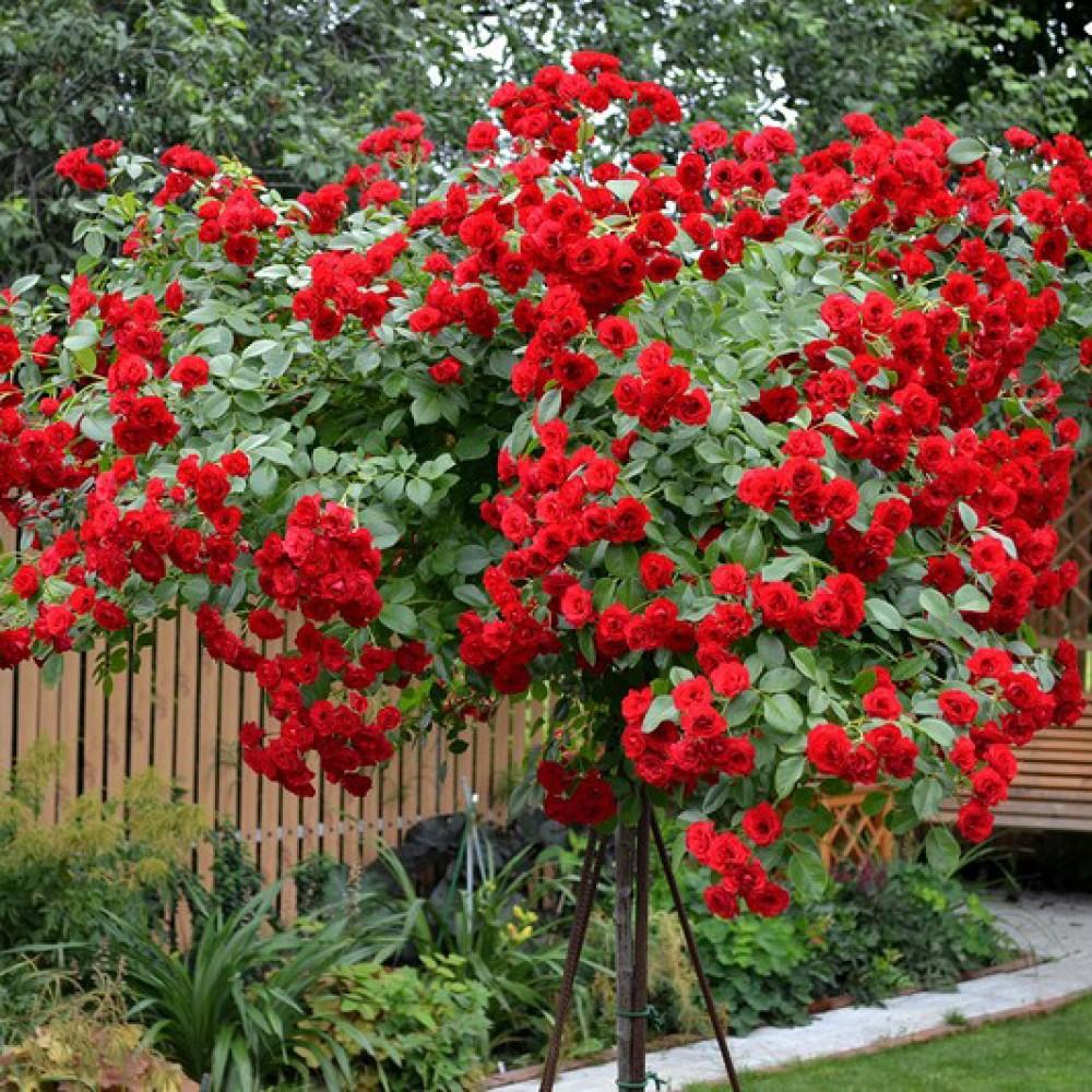 Троянда в горщику Scarlet Meillandecor