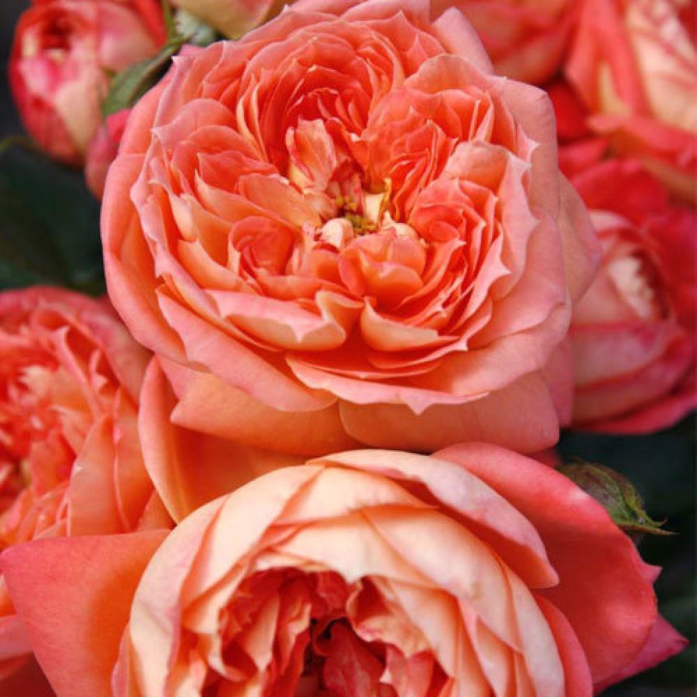Троянда в горщику Queen of Hearts