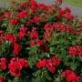 Троянда в горщику Rotkappchen