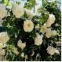 Троянда в горщику Schneewittchen
