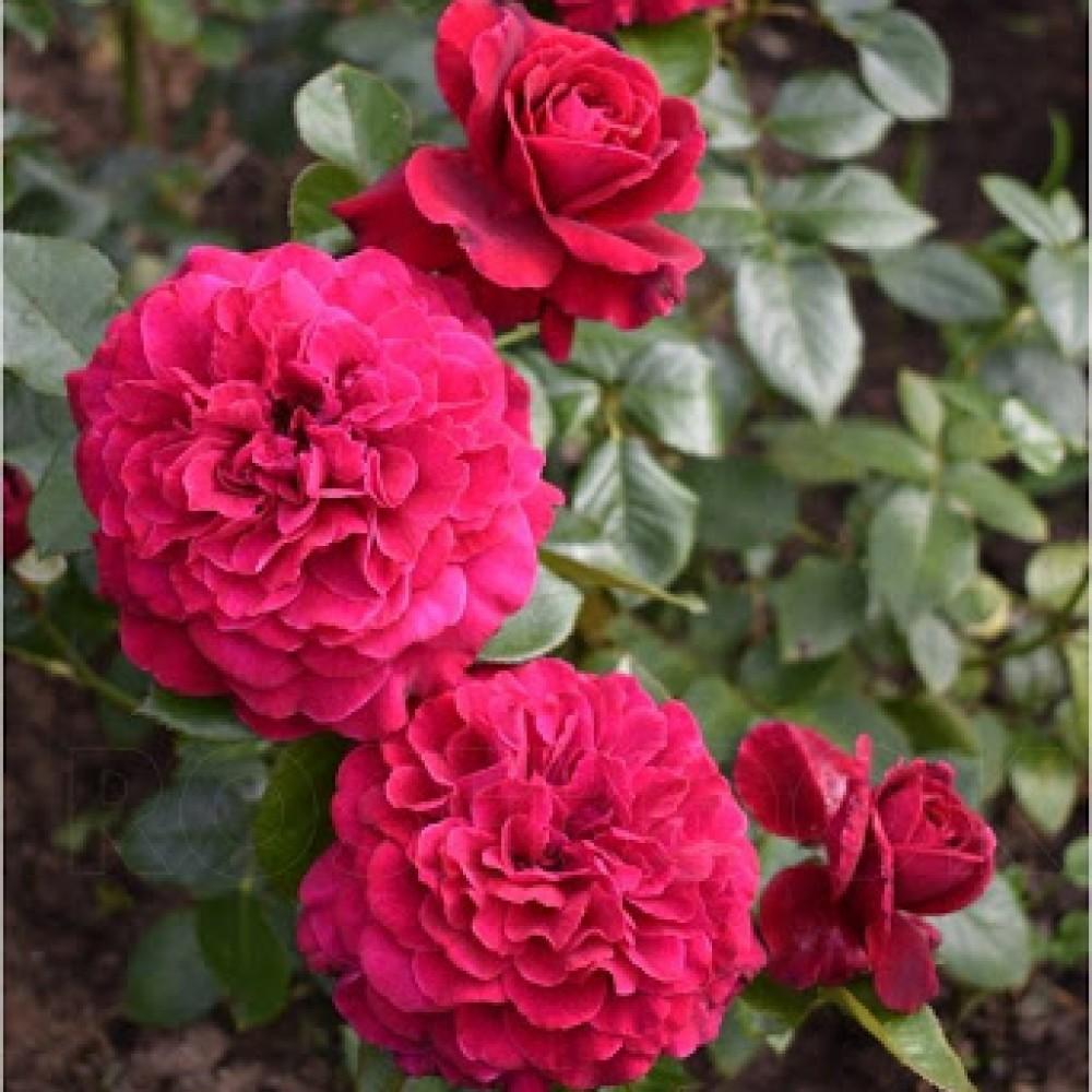 Троянда в горщику Bellevue