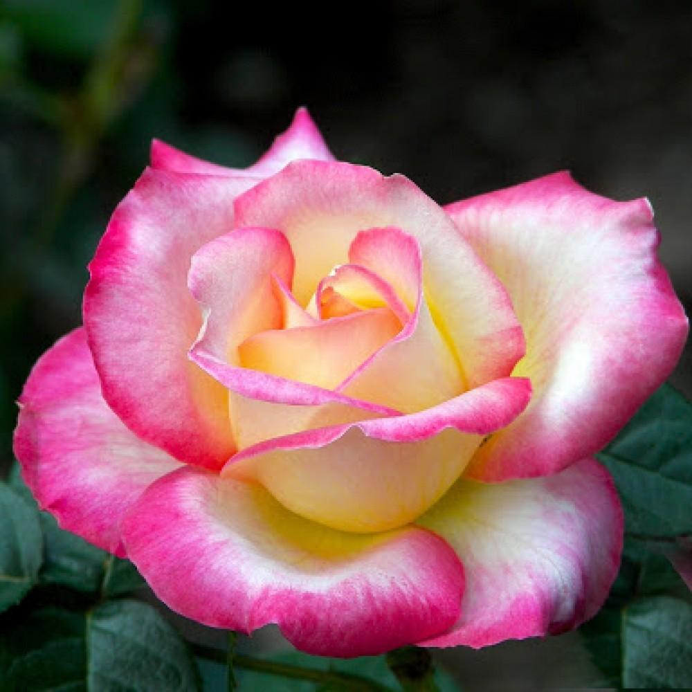 Троянда в горщику Haendel