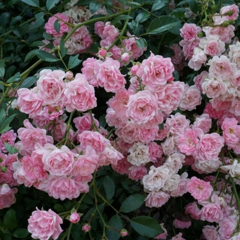 Троянда в горщику The Fairy