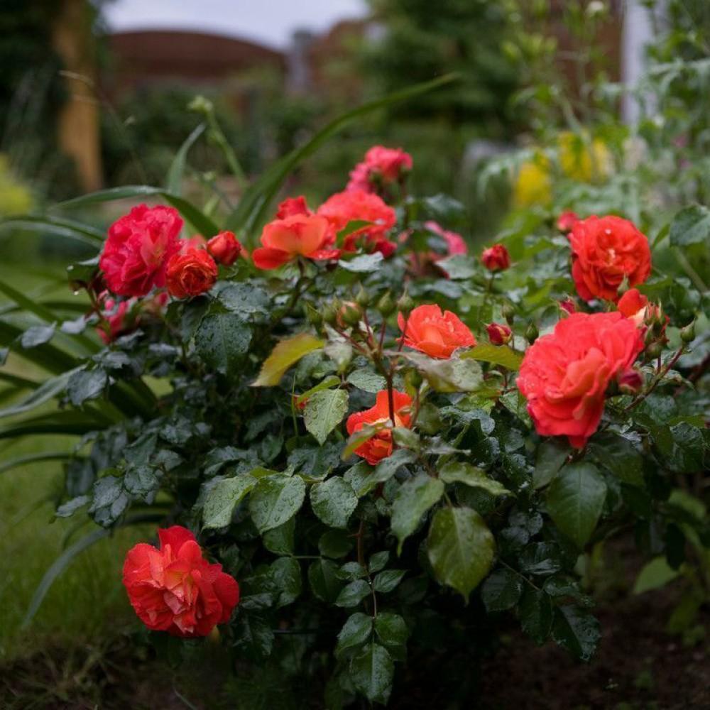 Троянда в горщику Gebruder Grimm
