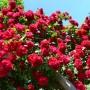 Троянда в горщику Flammentanz