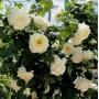 Троянда в горщику Schneewalzer