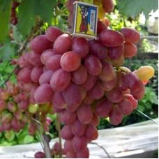 Виноград в горшке Анюта