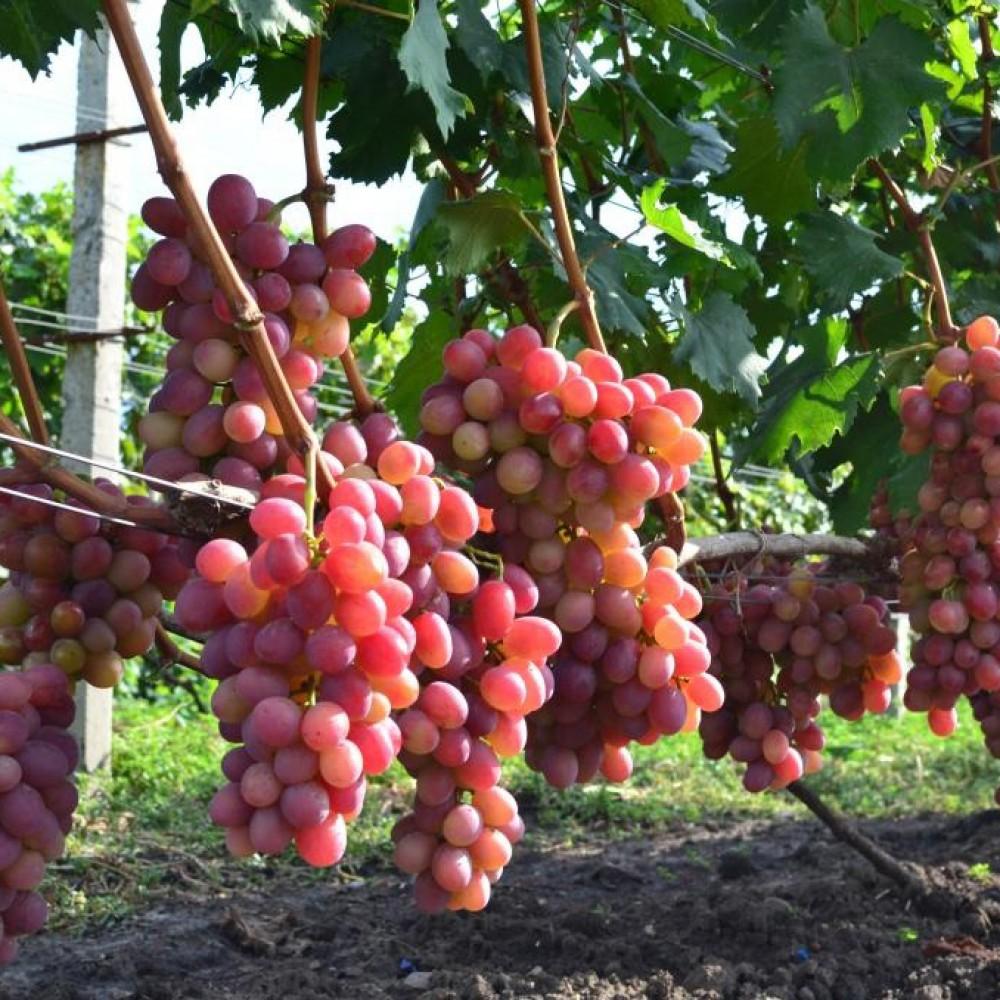 Виноград в горщику Анюта