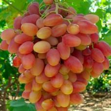 Виноград в горшке Анжелика