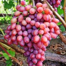 Виноград в горшке Рубиновый Юбилей