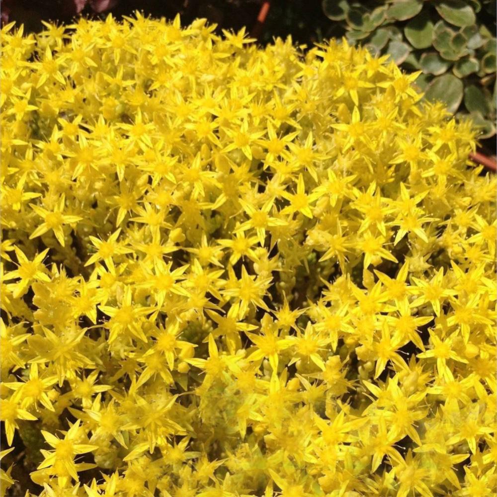 Очиток Yellow Queen