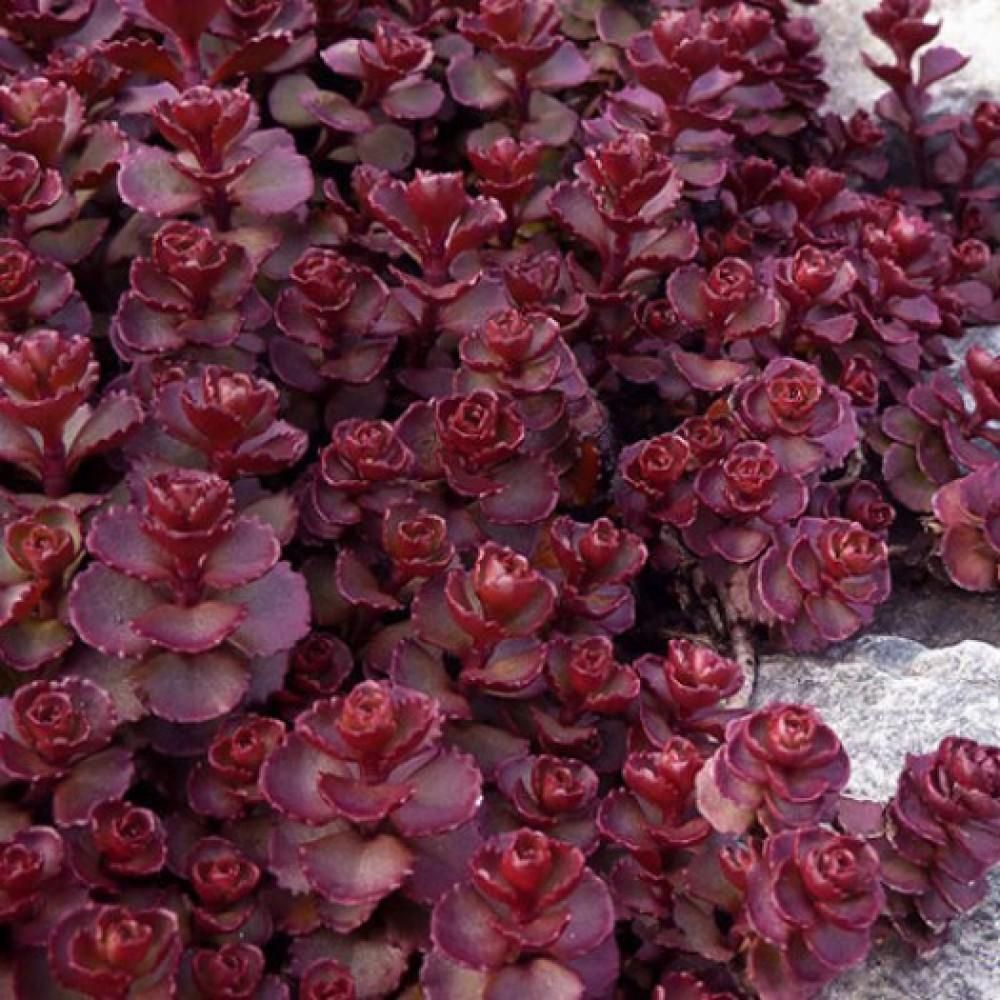 Очиток Red Carpet