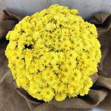 Хризантема Arluno Yellow 3л