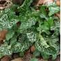 Арум Italicum