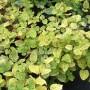 Жимолость Японская Aureoreticulata С1,5