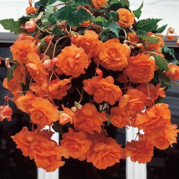 Бегонія Cascade Orange