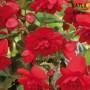 Бегонія Cascade Scarlet