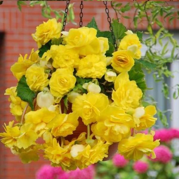 Бегонія Cascade Yellow
