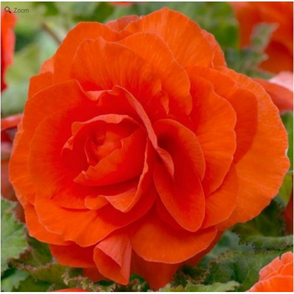 Бегонія Double Orange