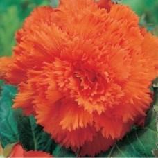 Бегония Fimbriata Orange