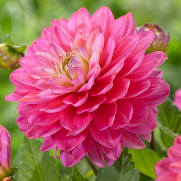 Жоржина Melody Pink Allegro