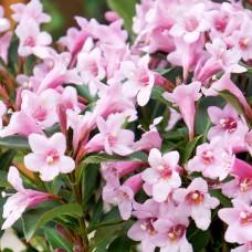 Вейгела Florida Pink С1,5