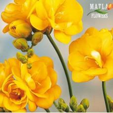 Фрезия Double yellow