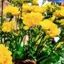 Фрезія Double yellow