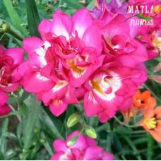 Фрезия Double pink