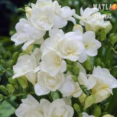 Фрезия Double white