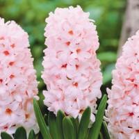 Гиацинт China Pink