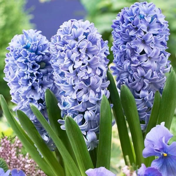 Гіацинт Delft Blue