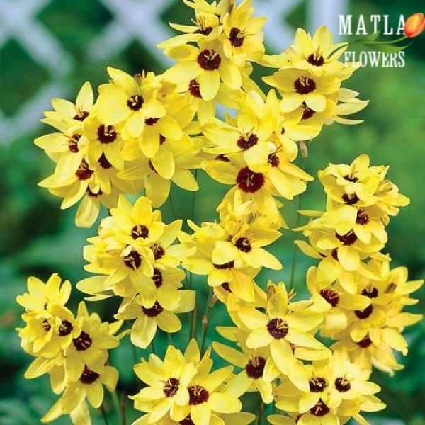 Іксія Yellow Emperor