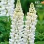 Люпин Russell Hybrids White