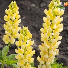 Люпин Russell Hybrids yellow