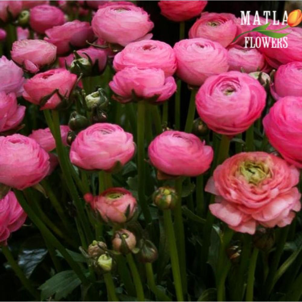 Лютик Ranunculus Aviv Pink