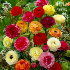 Лютик Ranunculus Aviv Mix