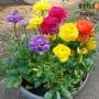 Лютик Ranunculus Aviv Mix (суміш)