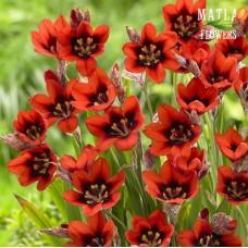 Спараксис Red Reflex