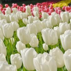 Тюльпан Maureen