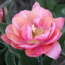 Тюльпан Pink Cameo