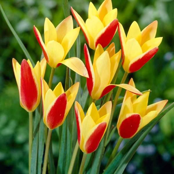 Тюльпан Clusiana Chrysantha