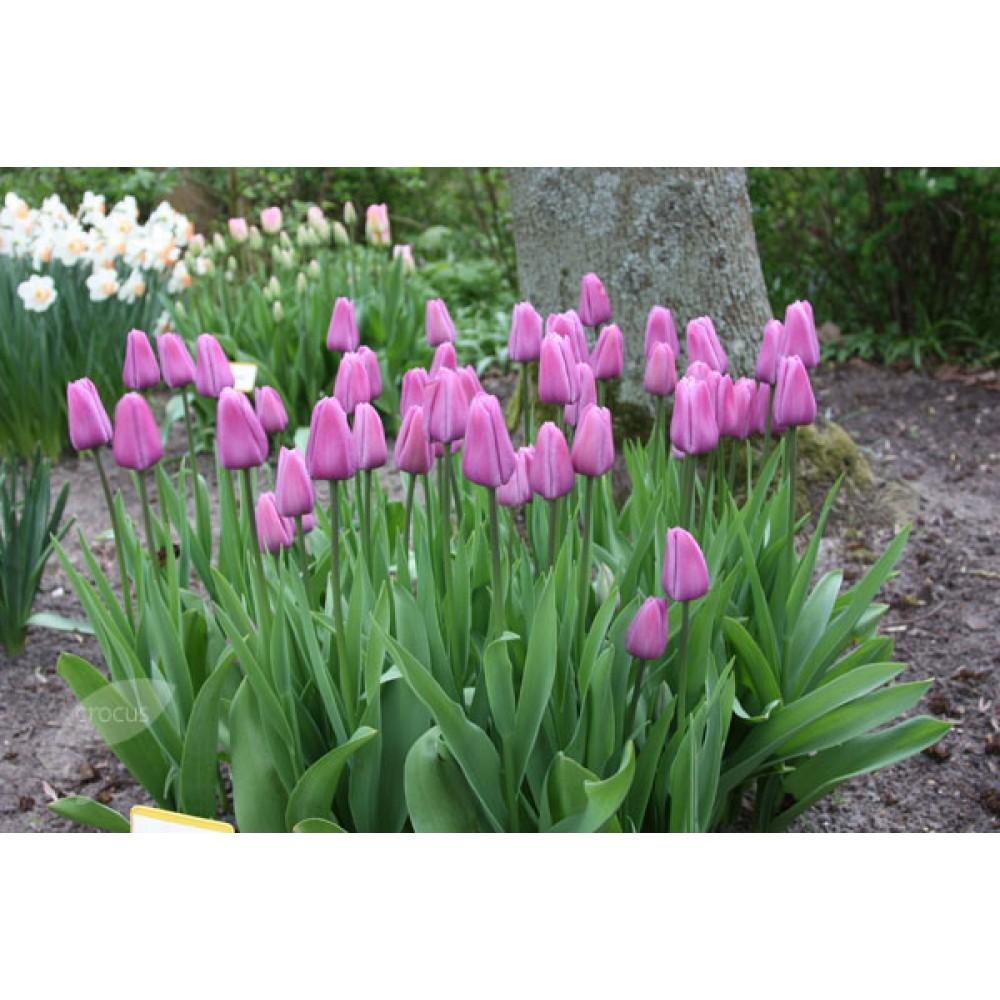 Тюльпан Violet Beauty