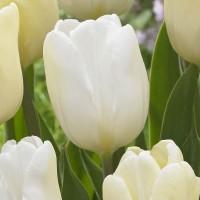 Тюльпан White Flag 11/12
