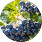Арония (Черноплодная рябина) (2)