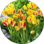 Тюльпани Багатоквіткові