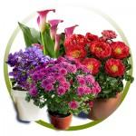 Насіння багаторічних квітів (82)